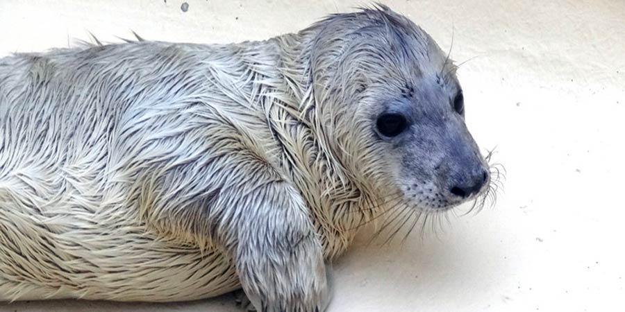 Une nouvelle femelle phoque à Biarritz
