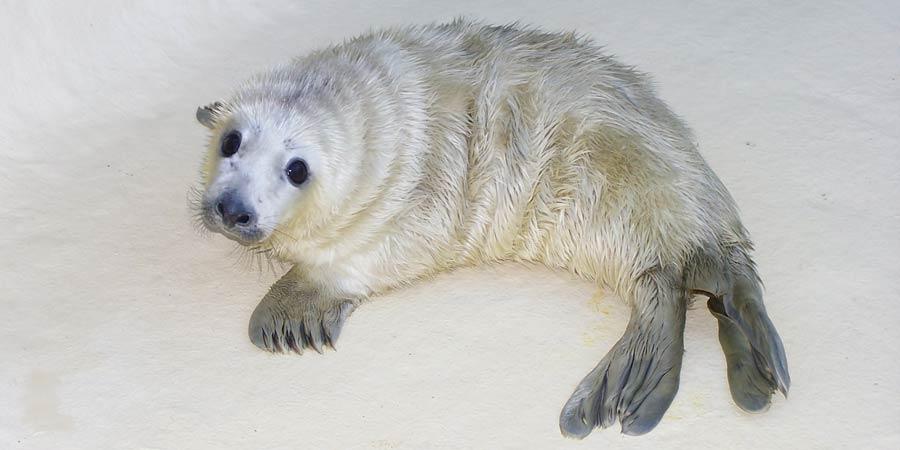 Un bébé phoque est né