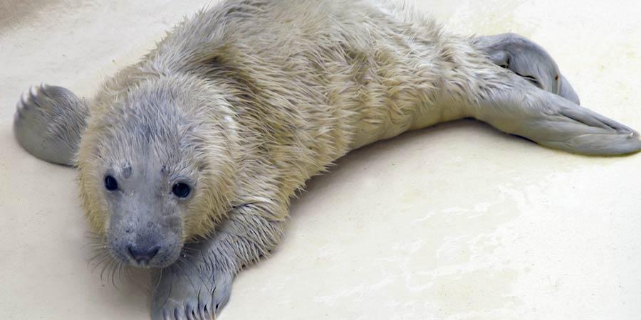 Naissance d'un quatrième bébé phoque