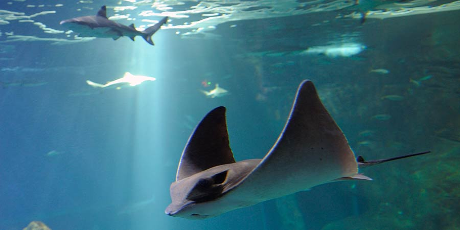 The Aquarium's majestic eagle rays