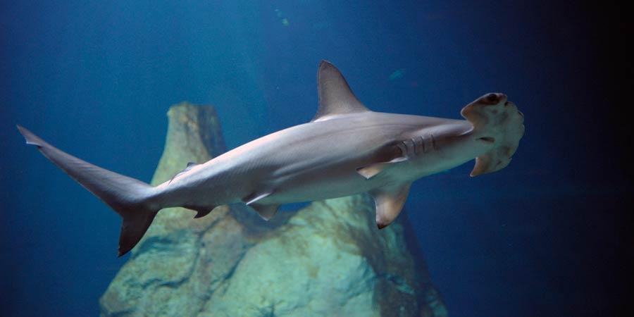 Requin-marteau halicorne