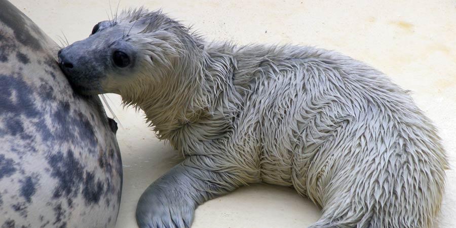 Naissance d'un troisième bébé phoque