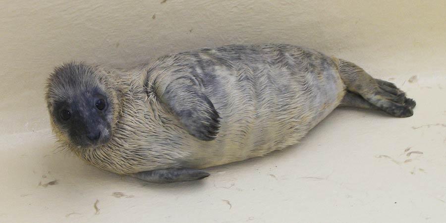Naissance d'un deuxième bébé phoque