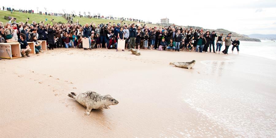 Des phoques gris relâchés pour la 1ère fois à Biarritz !