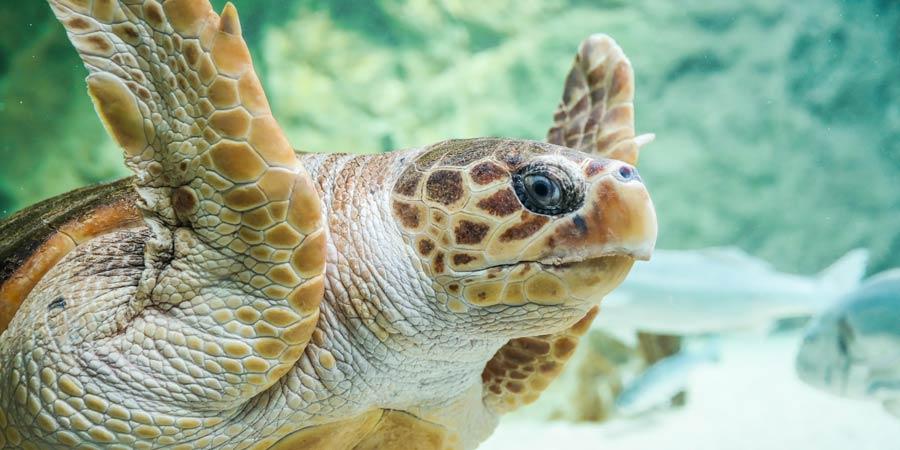 Une nouvelle tortue à l'Aquarium de Biarritz