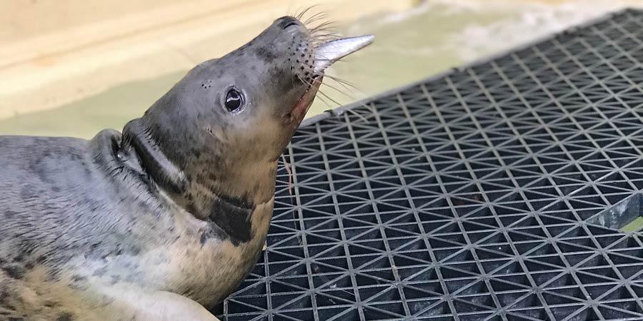 Trois bébés phoques soignés à Biarritz ont regagné leur milieu naturel