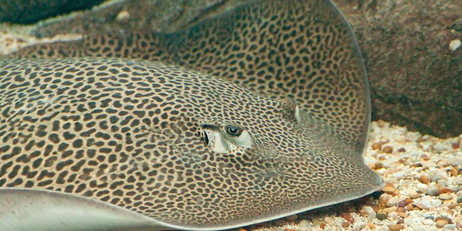 Trois léopards géants dans le bassin des requins